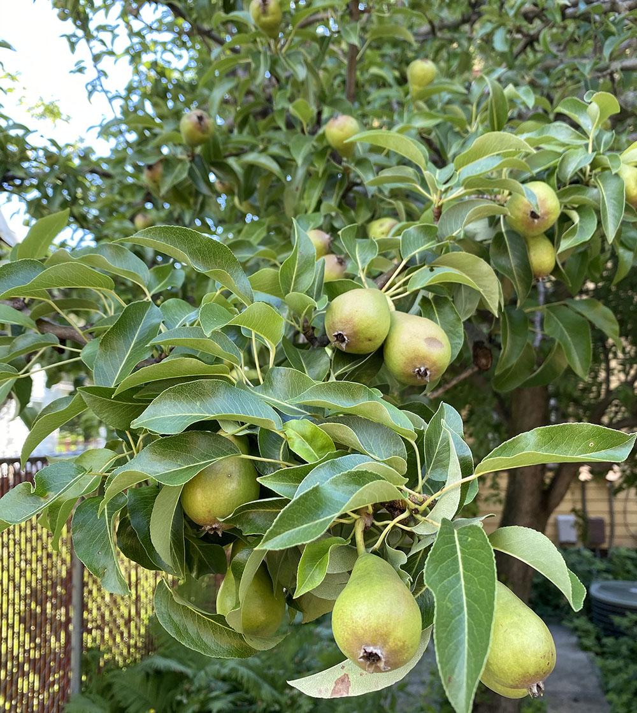 Charlie's pear tree